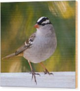 Backyard Bird - White-crowned Sparrow Wood Print