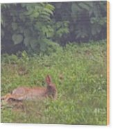 Backyard Bunny Wood Print