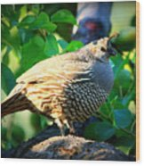 Backyard Garden Series - Quail In A Pear Tree Wood Print