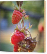 Backyard Garden Series - The Freshest Raspberries Wood Print