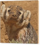 Badger Covered In Dirt From Digging Wood Print