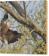 Bald Eagle Catch Of The Day  Wood Print