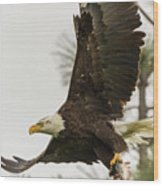 Bald Eagle Flying With Fish Wood Print