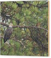 Bald Eagle In A Pine Tree, No. 4 Wood Print