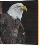 Bald Eagle Intensity Wood Print