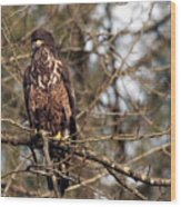 Bald Eagle Juvenile 2 Wood Print