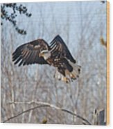 Bald Eagle Near Itasca Wood Print