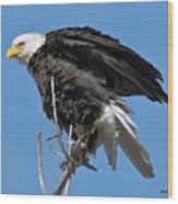Bald Eagle On Cottonwood Tree Branches Wood Print