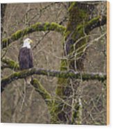 Bald Eagle On Mossy Branch Wood Print