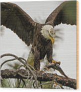 Bald Eagle Picking Up Fish Wood Print