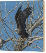 Bald Eagle Pushes Off For Launch Wood Print