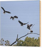 Bald Eagle Sequence  1277 Wood Print
