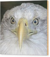 Bald Eagle Up Close Wood Print