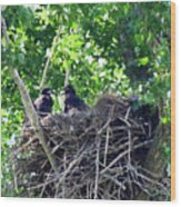 Bald Eaglet's 5 Wks 2 Wood Print