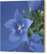 Balloon Flowers - Blooms And Buds Wood Print