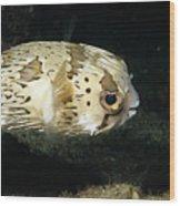 Balloonfish Profile Puffer Fish, Diodon Wood Print