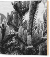 Balsam Fir Buds Bw Wood Print