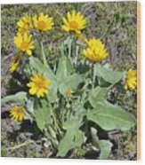 Balsamroot Wood Print