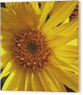 Balsamroot Flower Wood Print