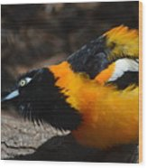 Baltimore  Oriole 2 Wood Print