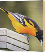 Baltimore Oriole About To Jump Wood Print