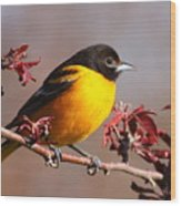Baltimore Oriole In Crabapple Wood Print