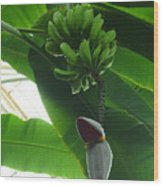 Banana Plant Kew London England Wood Print