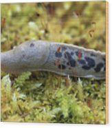 Banana Slug Closeup In Moss Wood Print