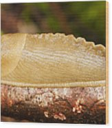 Banana Slug Wood Print