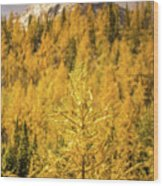Banff Golden Larch Dream World Wood Print