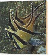 Banggai Cardinalfish With Egg, North Wood Print