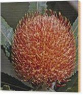 Banksia Attenuata Wood Print