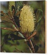 Banksia Syd01 Wood Print