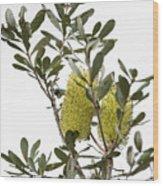 Banksia Syd02 Wood Print