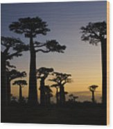 Baobab Forest At Sunset Wood Print