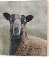 Barbados Blackbelly Sheep Portrait Wood Print