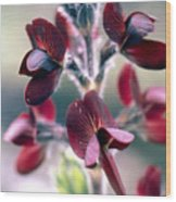 Barbed Thermopsis Or Black Pea Wood Print