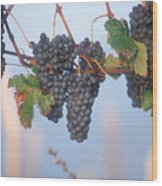 Barbera Grapes Ready For Harvest South Wood Print