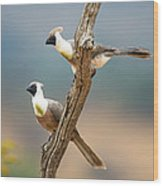 Bare-faced Go-away-birds Corythaixoides Wood Print