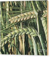 Barley, Green Stage Wood Print