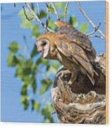 Barn Owl Owlet Climbs Out Of Nest Wood Print