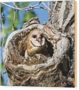 Barn Owl Owlet Says Hello To The World Wood Print