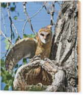 Barn Owl Owlet Stretches Wood Print