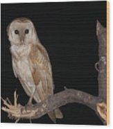 Barn Owl Tyto Alba Wood Print