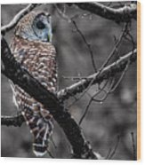 Barred Owl Hungry  Wood Print
