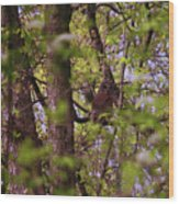 Barred Owl In The Forest Wood Print