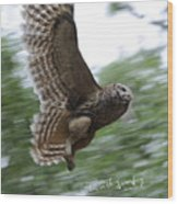 Barred Owl Taking Flight Wood Print