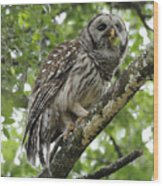 Barred Owl With A Snack Wood Print