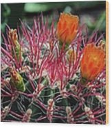 Barrel Cactus II Wood Print