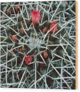 Barrel Cactus With Pink Blooms Wood Print